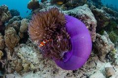 Clownfish i Purpurowy anemon w Papua - nowa gwinea obraz royalty free