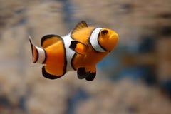 clownfish ii som simmar Royaltyfri Foto