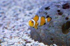Clownfish im Aquarium lizenzfreie stockfotos