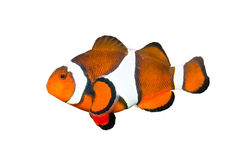 Clownfish Isolated on White Stock Photos