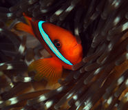 Clownfish and its anemone Royalty Free Stock Photo