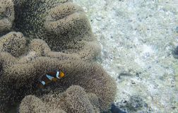Clownfish in its anemone. In Thailand Stock Photography
