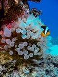 Clownfish and its babies Stock Photos