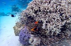 Clownfish korall på den okinawa ön royaltyfri foto