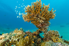 Clownfish and lionfish swim around a hard coral on a reef. Several lionfish and other small fish shelter around an Acropora table coral royalty free stock image