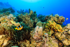 Clownfish and a Lionfish swimming around a colorful coral reef. Clownfish swimming arounds its host anemone on a coral reef royalty free stock image