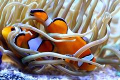 Clownfish listrado Fotografia de Stock