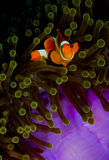 Clownfish looking into the camera from anemone. False clownfish (Amphiprion ocularis) hiding in a anemone, looking into the camera. Taken in Wakatobi, Banda Stock Image