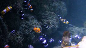 Clownfish many swimming underwater in aquarium, Clownfish or anemonefish are fishes from the subfamily Amphiprioninae in the famil
