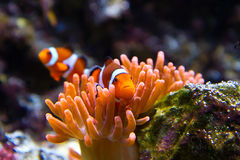 Clownfish in marine aquarium Royalty Free Stock Photography