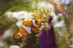 Clownfish in marine aquarium Stock Photo
