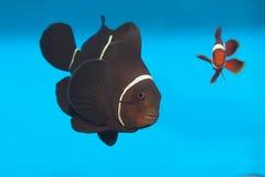 Clownfish marrón en acuario Fotografía de archivo libre de regalías