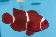 Clownfish marrone rossiccio Fotografia Stock Libera da Diritti