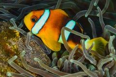 Clownfish med ägget Royaltyfri Bild