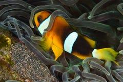 Clownfish med ägget Royaltyfri Fotografi