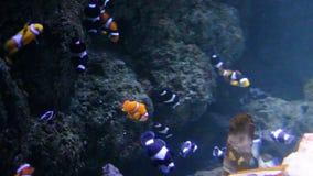 Clownfish muitos que nadam debaixo d'água no aquário, Clownfish ou os anemonefish são peixes da subfamília Amphiprioninae no fami video estoque