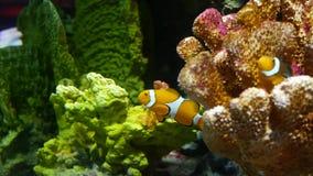 Clownfish nära korall i akvarium Liten clownfishsimning nära olika majestätiska koraller på svart bakgrund i akvarium lager videofilmer
