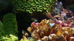 Clownfish n?ra korall i akvarium Liten clownfishsimning n?ra olika majest?tiska koraller p? svart bakgrund i akvarium arkivfilmer