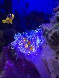 Clownfish na anêmona Imagens de Stock Royalty Free