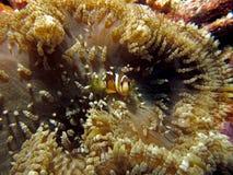 Clownfish na anêmona imagem de stock royalty free