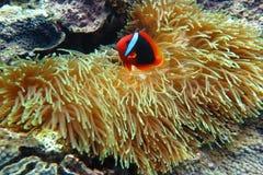 Clownfish na anêmona de mar fotos de stock