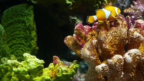 Clownfish near coral in aquarium. Small clownfish swimming near various majestic corals on black background in aquarium