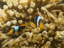 Clownfish nederlag i anemon Arkivbild