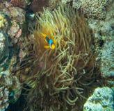 Clownfish nederlag i tentaklen av dess värd Royaltyfri Fotografi