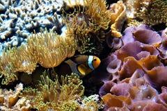 Clownfish nederlag mellan anemoner arkivbild
