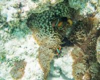 Clownfish nell'anemone della scogliera fotografia stock libera da diritti