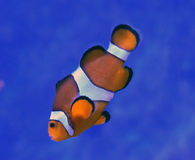 Clownfish (nemo) al hunstanton del centro di vita di mare - 25/9/16 Fotografia Stock