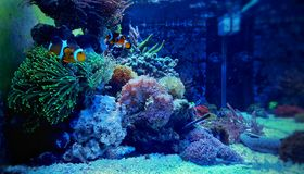 Clownfish-nemo auf grüner Koralle Stockfotos