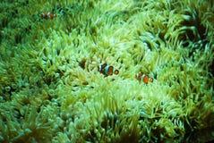 Clownfish - nemo a casa immagini stock
