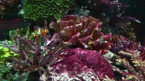 Clownfish Nemo en el acuario con los corales coloridos, un paisaje marino tropical almacen de metraje de vídeo