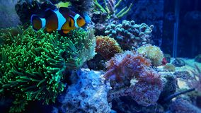 Clownfish nemo on green coral Royalty Free Stock Photography