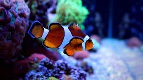 Clownfish-nemo im Korallenriffaquarium Stockfotos