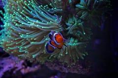 Clownfish-nemo im Marinebehälter Lizenzfreies Stockfoto