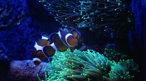 Clownfish-nemo im Marinebehälter Stockfoto