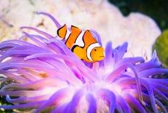 Clownfish Nemo in marine aquarium. Royalty Free Stock Photography