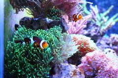 Clownfish nemofisk Arkivbilder