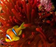 Clownfish next to a vivid red anemone in the Red Sea. A bright red host anemone and a clownfish royalty free stock photography