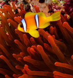 Clownfish next to a vivid ref host anemone. Red sea Clownfish (Anemonefish) next to a vivid red anemone on a coral reef royalty free stock photography