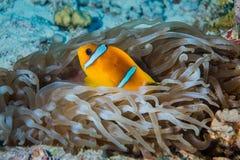 Clownfish o anemonefish con las anémonas de mar fotos de archivo libres de regalías