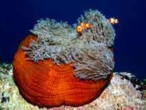 Clownfish o anemonefish en anémona Fotos de archivo libres de regalías