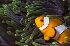 Clownfish occidentale Immagini Stock