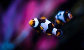 Clownfish Ocellaris в морском танке стоковые изображения