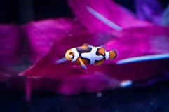 Clownfish Ocellaris в морском танке стоковое фото