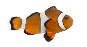 Clownfish Ocellaris, изолированные ocellaris Amphiprion, Стоковые Фото