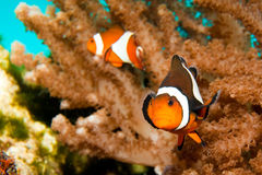 Clownfish Ocellaris Στοκ εικόνες με δικαίωμα ελεύθερης χρήσης