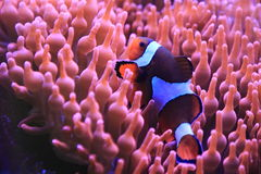 Clownfish Ocellaris Стоковое фото RF